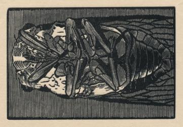 """Cicada no. I. wood engraving. 2015. 2"""" x 3"""""""